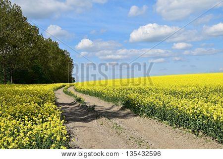 Road in rape field, blue sky. Road middle rape field.