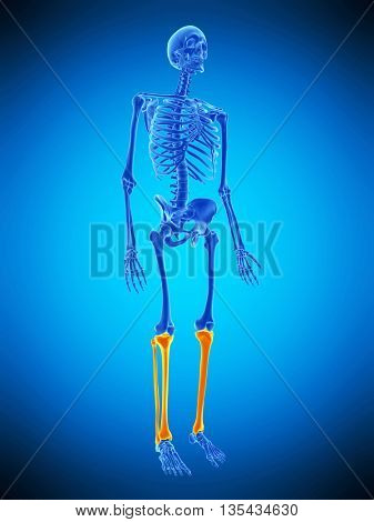 3d rendered, medically accurate illustration of the skeletal legs