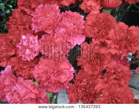 Ramo de claveles rojos. Planta originaria de la zona mediterránea.