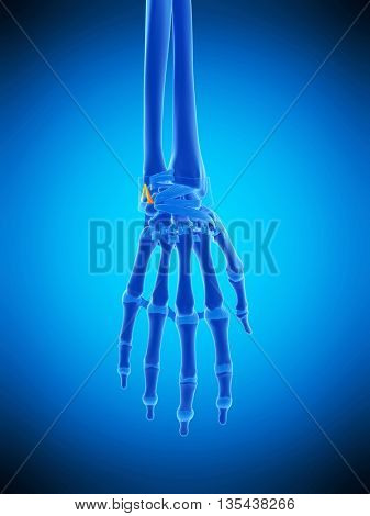 3d rendered, medically accurate illustration of the ulnocarpal ligaments