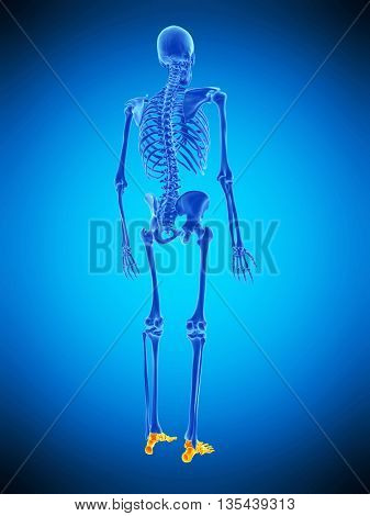 3d rendered, medically accurate illustration of the skeletal foots