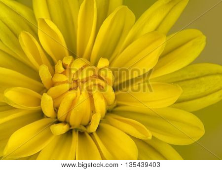 Close up photo of a yellow mum flower