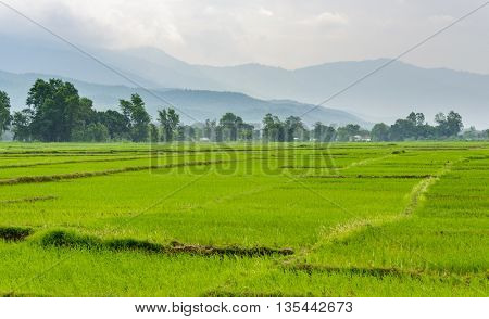 Rice paddy fields in the Dang valley in Terai, Nepal