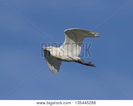 Cattle egret (Bubulcus ibis) in flight with blue skies in the background
