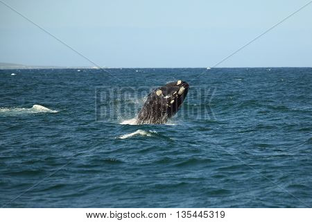 southern right whale jumping out of the water with a lot of splashing, South Africa, Africa