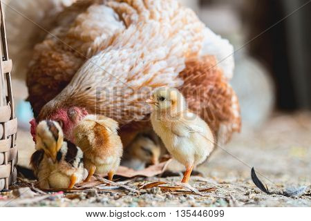 close up of chicken Hen and chicks