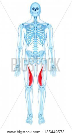 3d rendered, medically accurate illustration of the vastus medialis