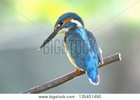 Common Kingfisher Alcedo atthis Male Birds of Thailand