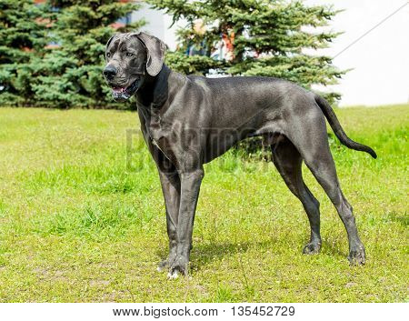 Great Dane looks. The Blue color  Great Dane is on the grass.