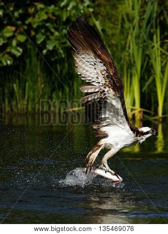 Osprey (Pandion haliaetus) Description: Osprey also known as fish eagle is a bird of prey. They feed exclusively on fish. They have a wingspan of 1.27 to 1.8m.
