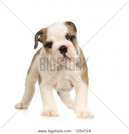 English Bulldog Puppy