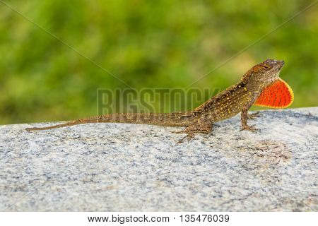 Brown lizard with yellow and black spots and dark stripes perched on a granite countertop, penny fully displayed through the expansion of its dewlap. Yellow green background blurred with shallow depth of field.