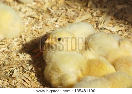 many chicks in the chicken coop with natural sunlight