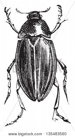 Water Scavenger Beetle or Hydrophilus spp. Hydrophilus is one genus (comprised of 48 different species) of Water Scavenger Beetles (family Hydrophilidae). From Domestic Life, vintage engraving, 1880.
