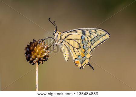 Swallowtail Resting On Allium Plant