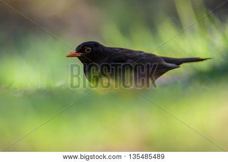 Male Common Blackbird In Garden