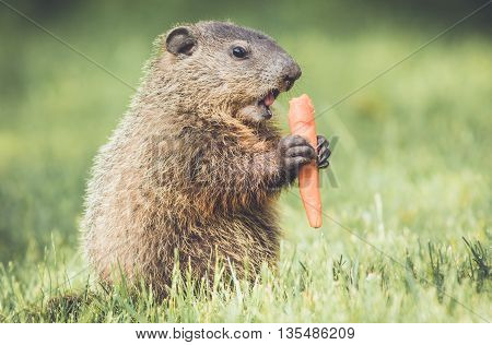 Very young groundhog standing upright and eating carrot in vintage garden setting