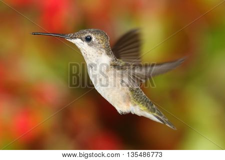 Juvenile Ruby-throated Hummingbird (archilochus colubris) in flight with colorful flowers in the background
