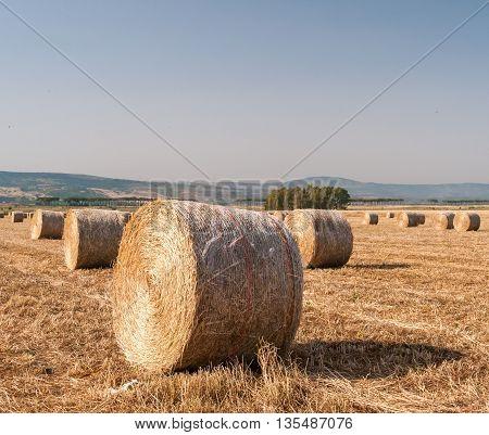 Sheaf Of Corn