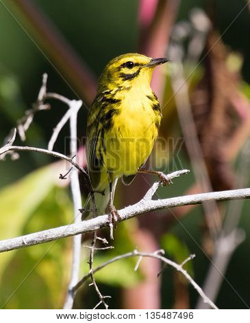 Male Prairie Warbler (Setophaga discolor) perched on a branch