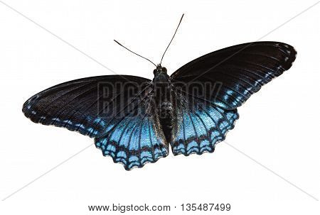 Red-spotted Purple (Limenitis arthemis) on a white background with a clipping path