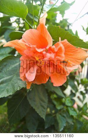 Orange Hibiscus flower on tree, garden in home