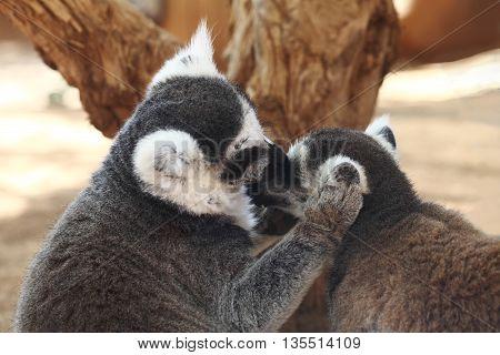 Two Lemur catta or Ring-tailed lemurs monkey