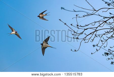 Barn swallows on blue bright sky background