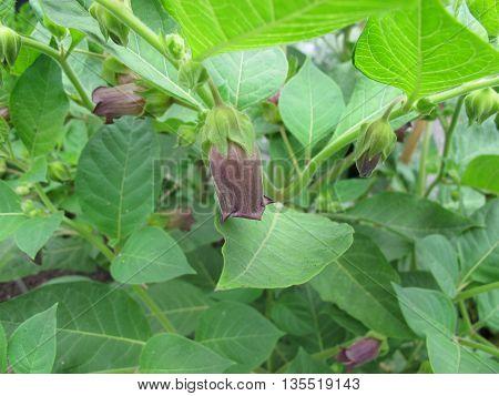 Flowering Belladonna, Atropa belladonna, a toxic plant