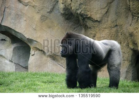 Gorila plateado lateral Silver gorilla with lateral view and Free left space