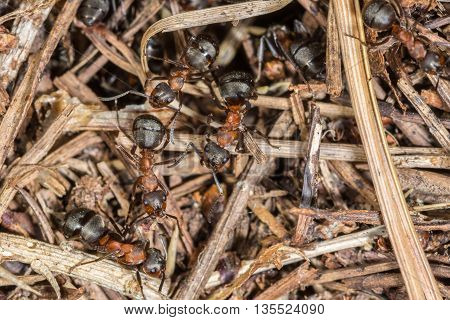 Close up of Wood Ants (Formica rufa) working on their nest and watching camera