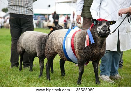 NEWBURY, UK - SEPTEMBER 21: The overall winner and reserve champion in the sheep competition show off there winning animals in the parade ring at the Berks County Show on September 21, 2013 in Newbury
