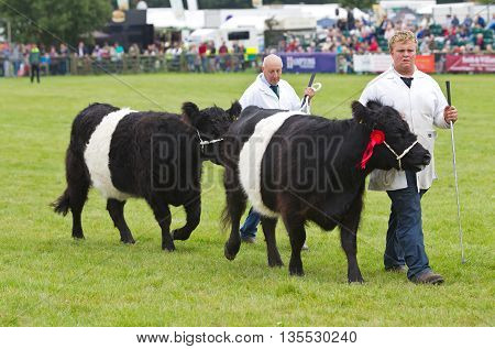 NEWBURY, UK - SEPTEMBER 21: Handlers parade the champion Belted Galloway cows around the main show arena during the grand parade at the Berks County show on September 21, 2013 in Newbury