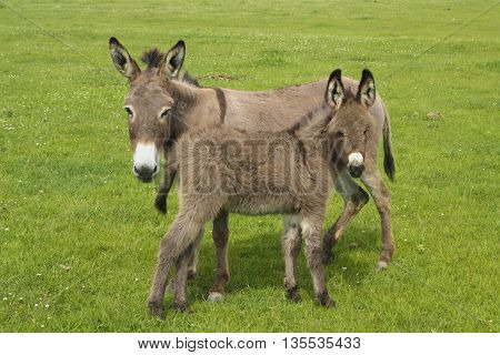 Gray mother and baby donkeys on the floral meadow
