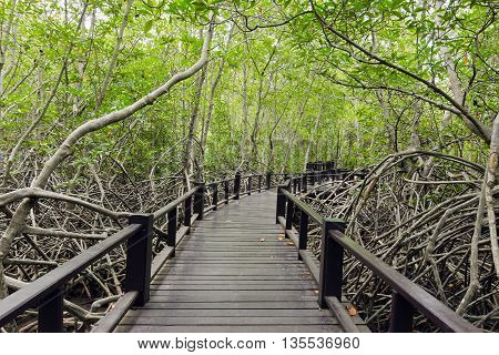 Wood passage way into mangrove forest (Trees include Rhizophoraceae Ceriops tagal decandra apiculata meliaceae xylocarpus moluccensis Rhizophora apiculate Ceriops Combretaceae lumnitzera)
