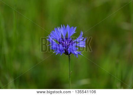 Macro photo of a cornflower (Centaurea cyanus)