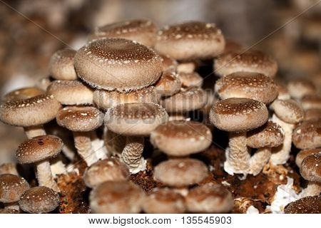 China and Japan been used Shiitake for centuries because of its medicinal properties