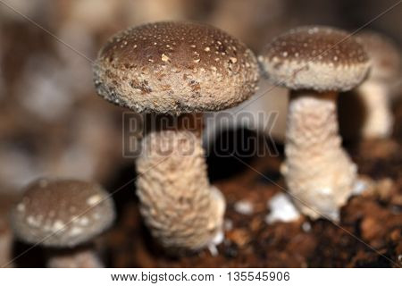 In Nature  grows Shiitake mushroom on wood such as oak, beech, chestnut and walnut. China and Japan been used Shiitake for centuries because of its medicinal properties