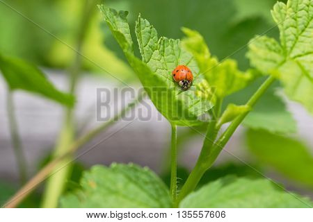 Orange Ladybird, Ladybug (Coccinellidae) crawling on green leaf of Currant in the garden, in Austria, Europe during summer time