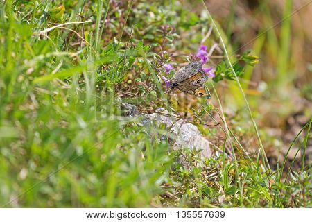 Selective focus of Wall Brown butterfly with dots (Lasiommata megera) feeding on flowers in the summer meadow in Austria, Europe