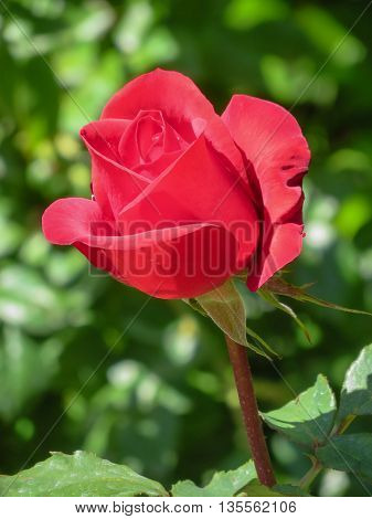 A red rose and stem in a garden