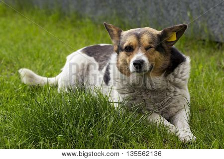 pooch without one eye is on the green grass
