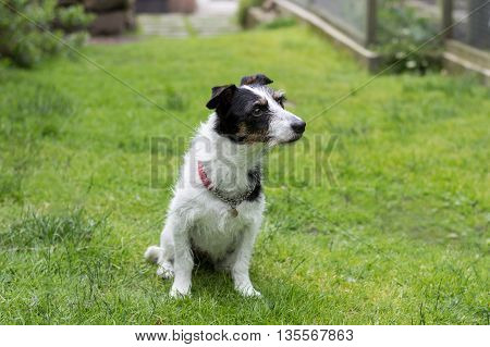 Jack Russell terrier cross dog sitting in garden sniffing the air.