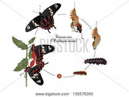 It is illustration of life cycle of crimson rose butterfly.