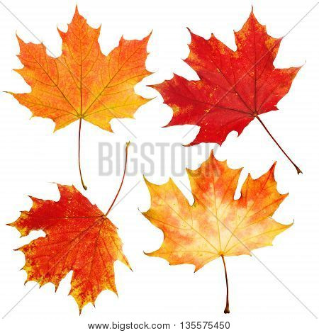 Autumn Maple Leaves Isolated on White Background. Fall Set