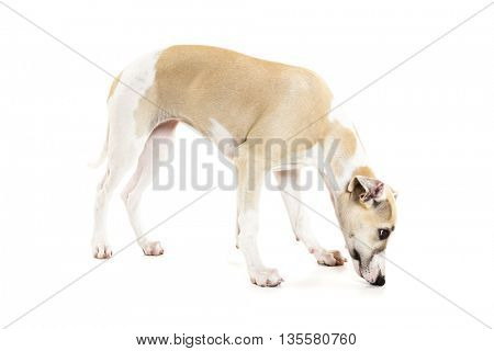 Whippet puppy sniffing with her nose on the floor isolated on white background