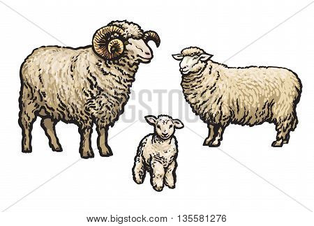 White sheep isolated, sketch illustration drawn by hand, isolated on a white background, a man woman and child a sheep, a flock of sheep, farm animals, cloven-hoofed livestock