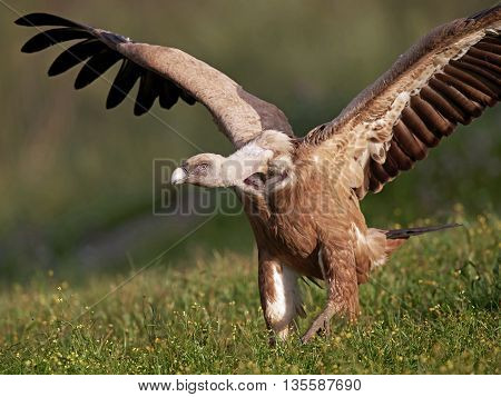 Griffon vulture (Gyps fulvus) with open wings ready to take of