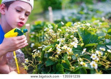 kid sprinkle strawberry flowers from bottle sprayer. cute boy spraying flowers in the garden. watering flowers. selective focus