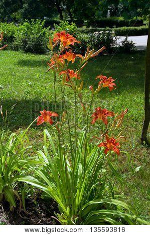 The daylily (Hemerocallis aurantiaca) summer flower gardens.